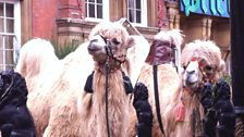 Camels ready and waiting