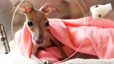 Episode 2 - An orphan 'pinkie' kangaroo joey looks out the window of its incubator.