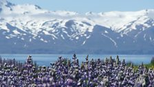 Lupins and snow capped mountains - Iceland in spring.