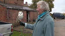 Barn owls in Cheshire