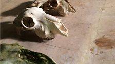 A selection of domestic sheep skulls
