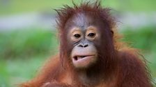 The word 'orangutan' means 'person of the forest' in local languages