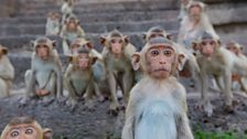 Long-tailed macaques in Thailand are worshipped by local people