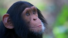 Chimpanzees make tools and use them to acquire food and for social displays