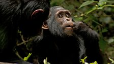 Different chimpanzee communities have different cultural traits