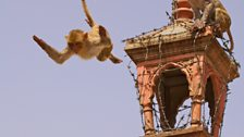 Rhesus macaques in Jaipur, India throw themselves off lamp posts in the name of fun