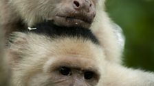 White-faced capuchins in Costa Rica rub tree sap into their fur as a natural insect repellent