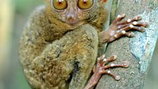 Philippine tarsier eyeballs are bigger than their stomach which helps them seek out insect prey