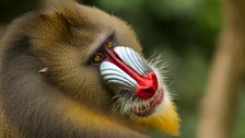 Mandrill males use facial expressions like this one to indicate submission in a fight