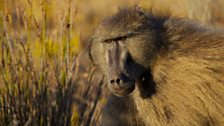 Chacma baboons live on savannah scrubland and are one of the few primate species known to sleep in caves