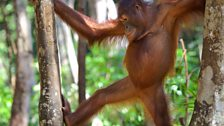 Bornean orangutans are acrobats of the treetop world and feed mostly on fruit