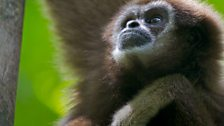 Gibbons have the longest arms relative to body size of any primate
