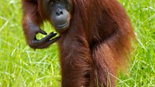 Orangutans have one of the longest childhoods of any animal - young stay with their mothers for up to 10 years