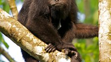 Howler monkeys can call at up to 90 decibels – that's loud enough to damage your hearing
