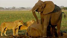 Fallen elephant