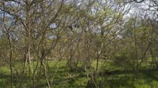 A thick carpet of flora under hazel coppice that's close to cutting age
