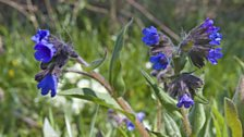 A Coppice rarity – the narrow leaved lungwort