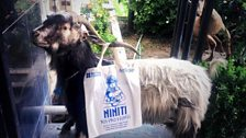 Goat with a tote!