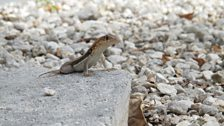 Turks and Caicos Curlytail Lizard