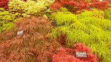 A selection of acers