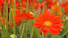 Bright orange gerberas