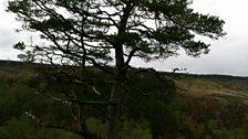 Glen Oykel Scots Pine