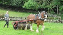 George the Clydesdale rolling a field