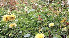 Dunham Massey's rose-garden