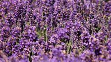 Lavender hedges