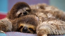 Minnie and Newbie the three-toed sloths asleep