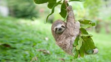 Newbie the sloth hanging from a tree