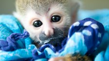 Clyde the baby squirrel monkey