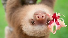Pelota the baby two-toed sloth