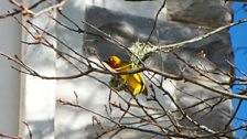 A yellow bird in Grahamstown , South Africa: photo by BBC