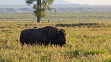 Bison bystander