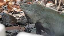 Turks and Caicos Rock Iguana - Close up