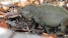 Rock Iguana in Little Water Cay, Turks and Caicos Islands