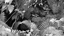 Ferns, at Dorothea Slate Mine