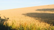 Organic wheat harvest with no tramlines; Courtesy of Charles Mullins