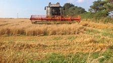 Harvesting oats, Cornwall; Courtesy of Simon Waterhouse