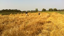 Harvesting barley with scythes on Willow Farm, Cambridgeshire, as part of the Cambridge CropShare community farming project