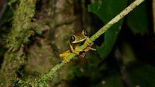 Lemur Leaf Frog (Agalychnis lemur)