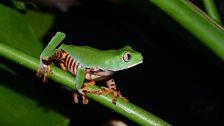 Tiger striped Monkey frog (Phyllomedusa tomopterna)