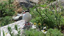 Ringed common tern