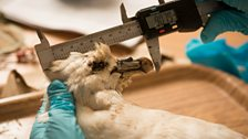 Researchers dissect seabirds to monitor levels of ingested plastic and assess if plastic was the cause of their death