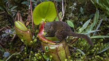 A mountain treeshrew feeds on the sugar secretions of a giant pitcher plant, Mount Kinabalu, Borneo