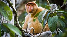 The extended gut of the proboscis monkey allows them to break down toxins that the plants use to protect their foliage