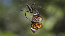 Golden orb spider removes a toxic tiger butterfly from her web, Tambunan, Borneo