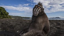 Crested black macaque, Tangkoko, Sulawesi. One of the most social of all primates.