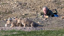 Gordon watches wolf pups playing with a bit of Arctic hare fur